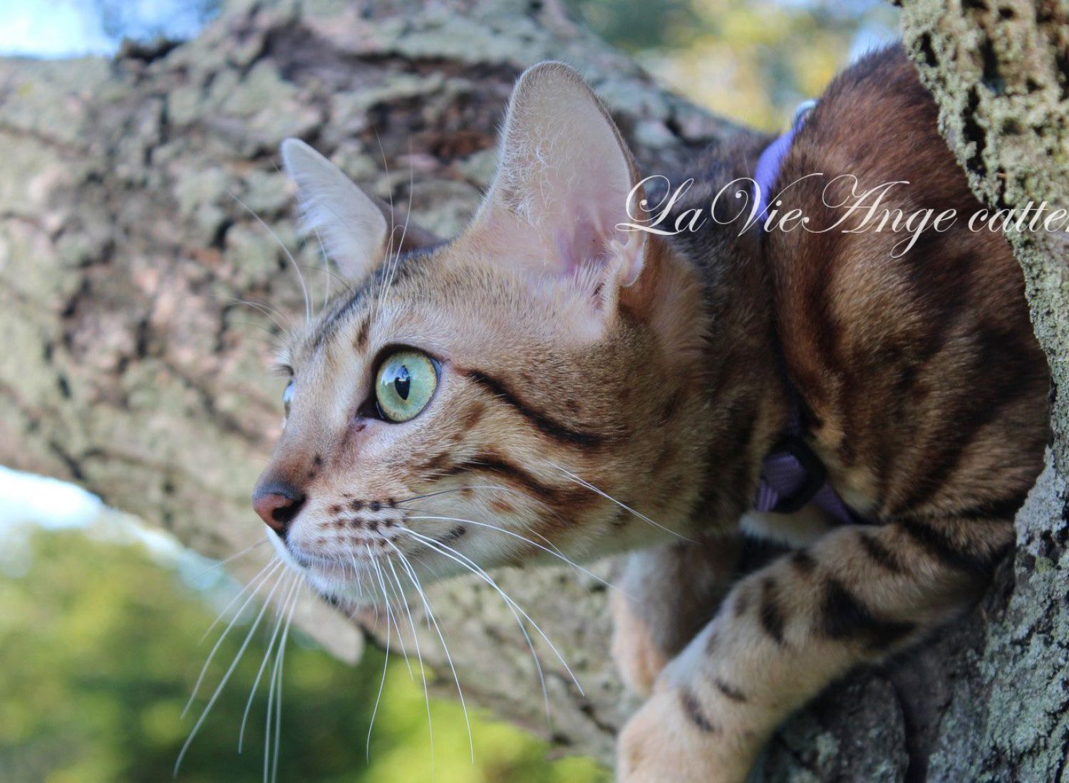 bengal kittens for sale in ny 2