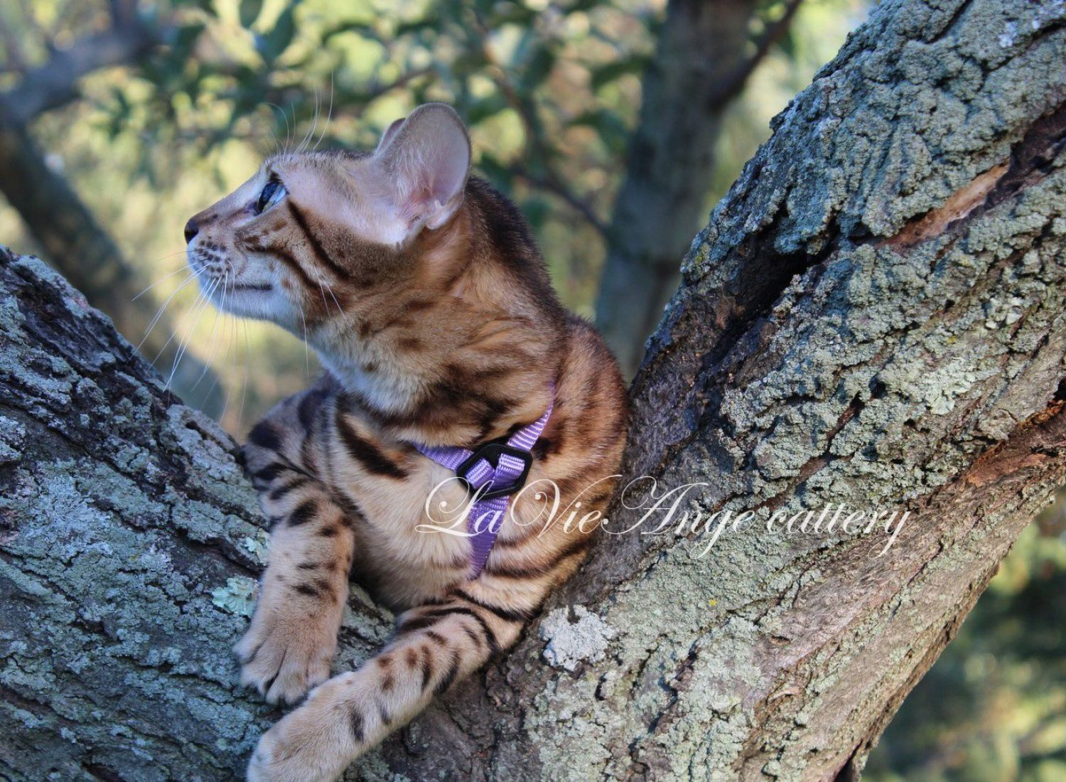 bengal kittens for sale in ny 3