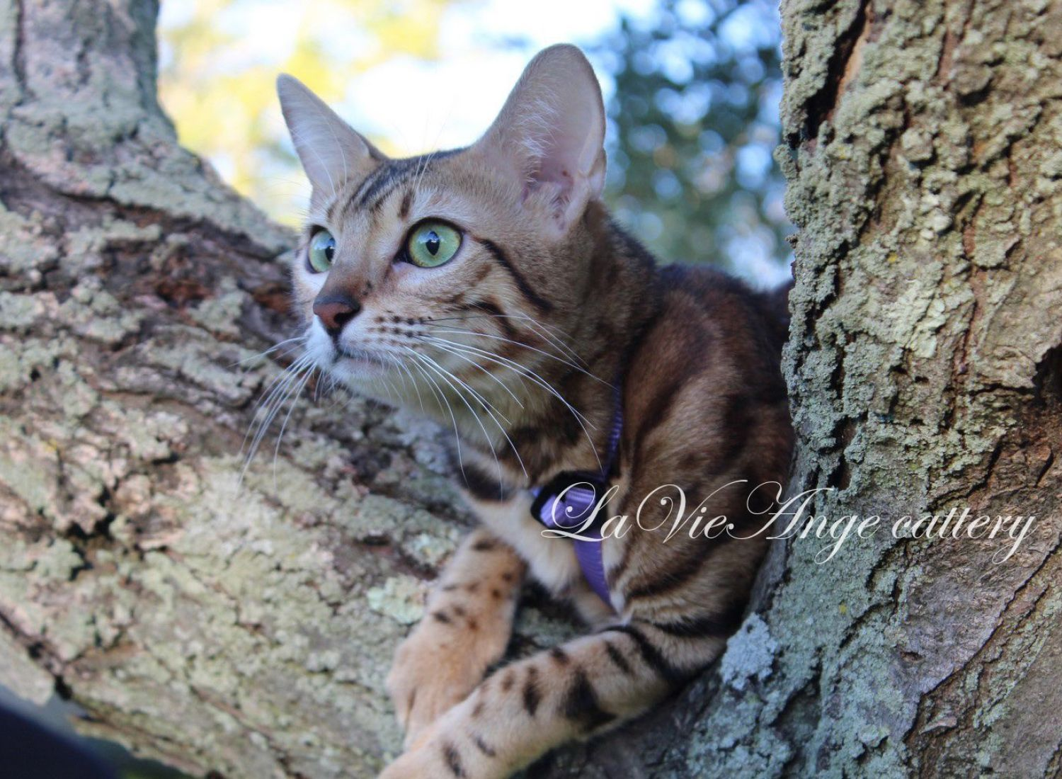 bengal kittens for sale in ny 4