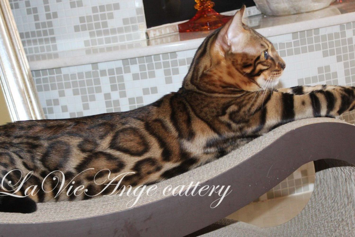 bengal cat nyc 105
