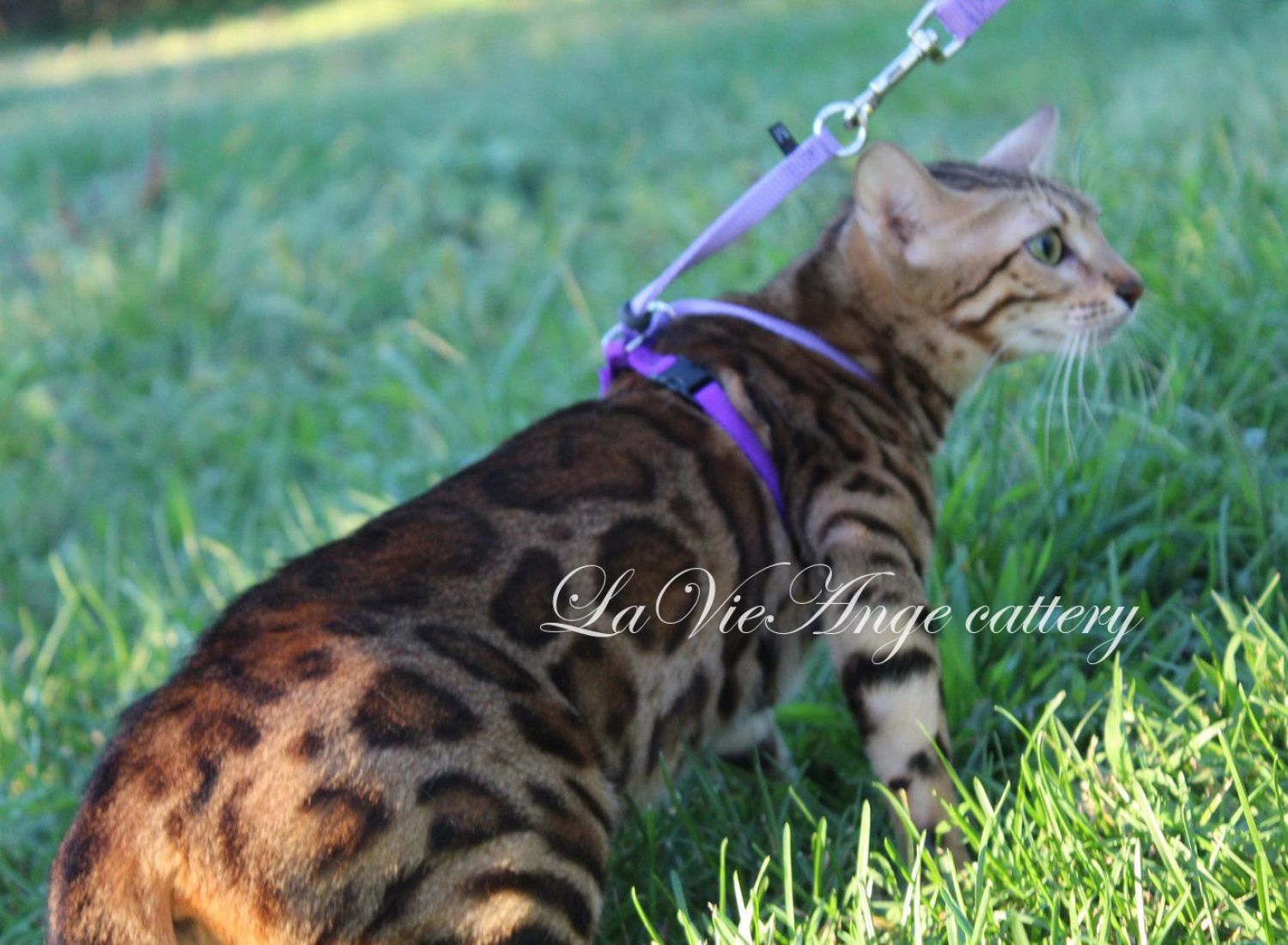 bengal kittens for sale in ny 6