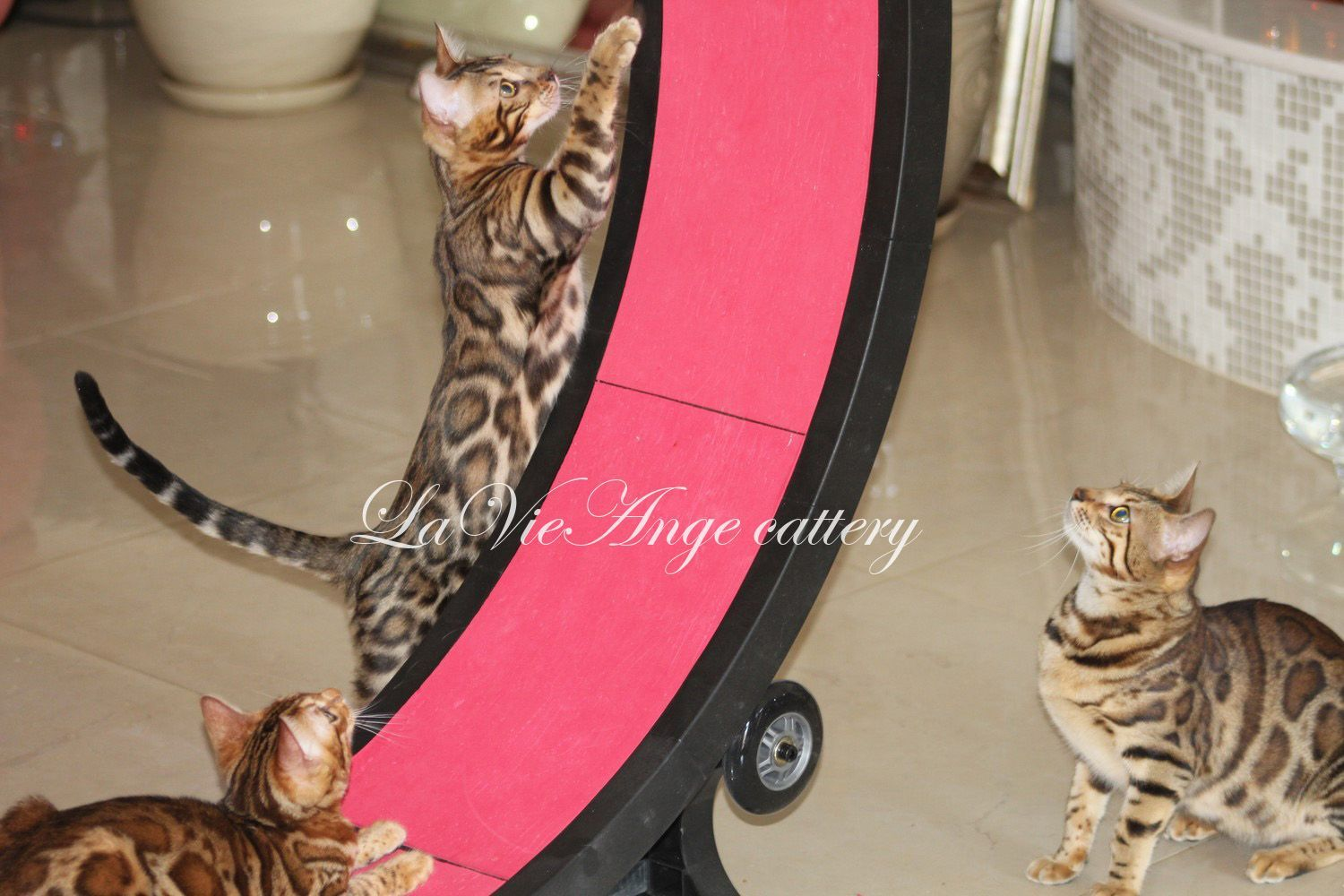 bengal cat nyc 107