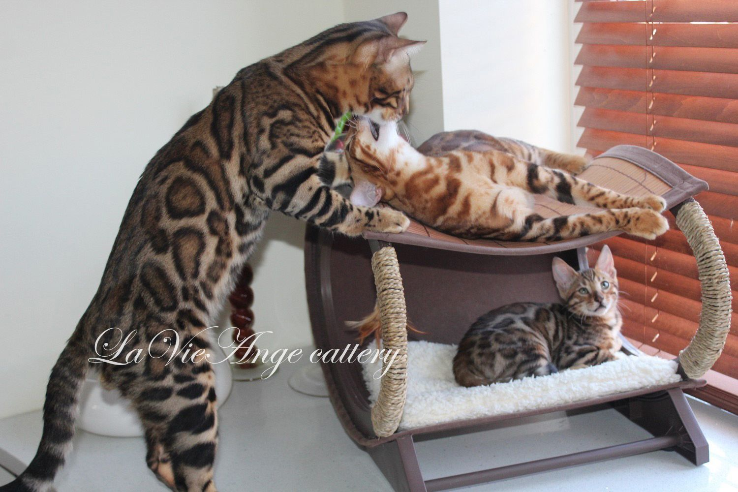 bengal cat nyc 108