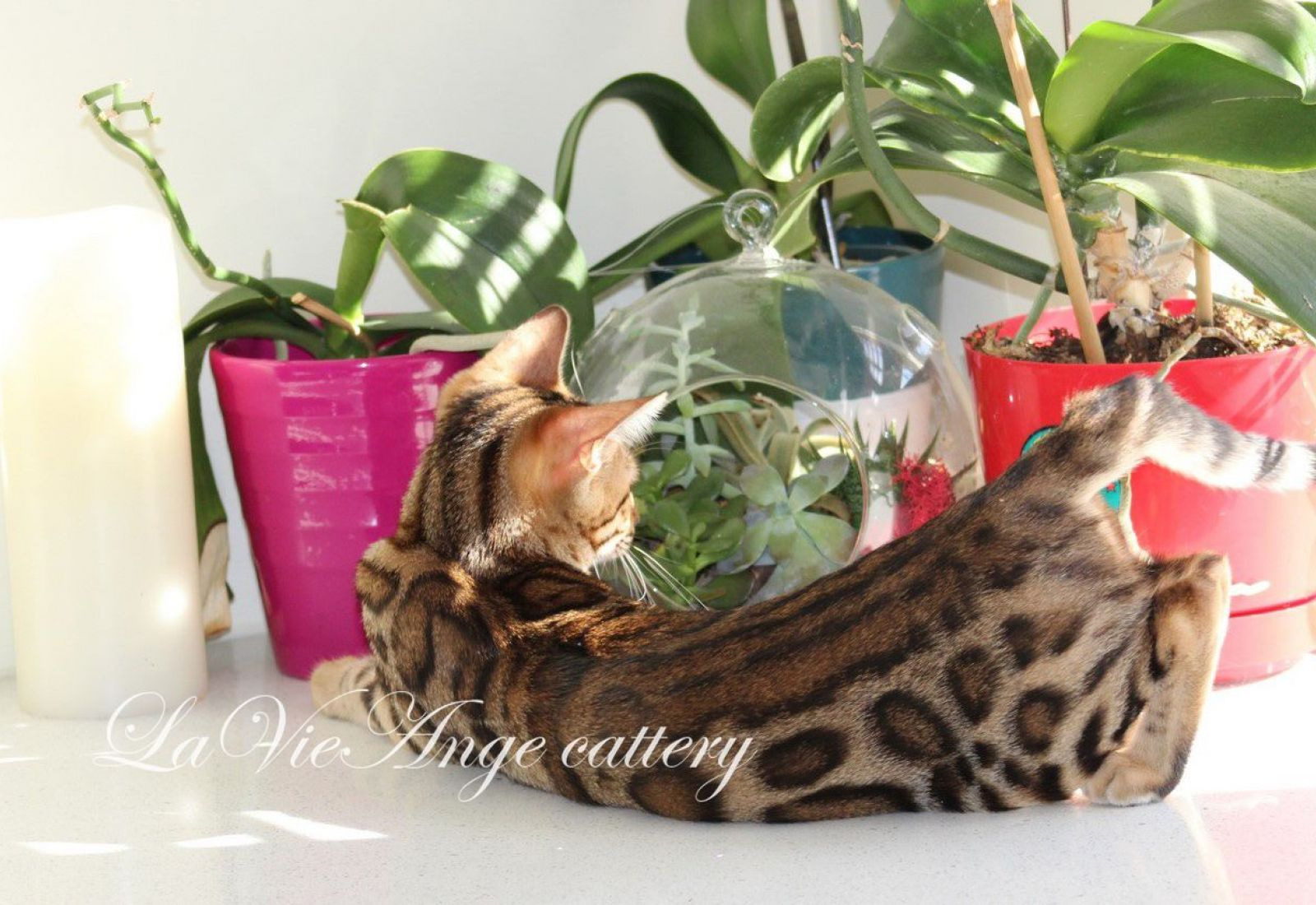 bengal kittens for sale in ny 8