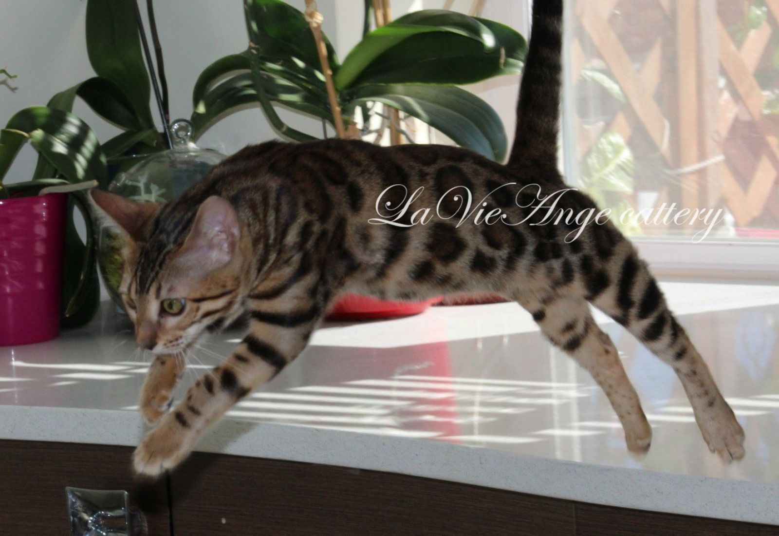 bengal kittens for sale in ny 16