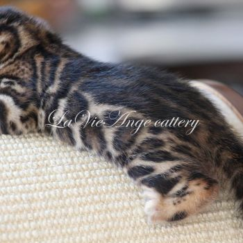 bengal kittens for sale ny 2